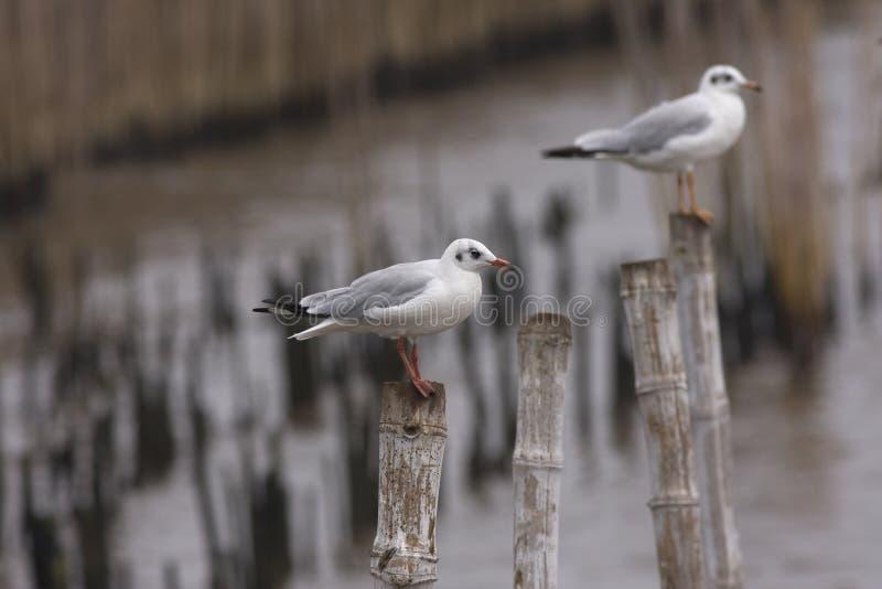 Брайн-головая стойка чайки 2 на бамбуке стоковые изображения