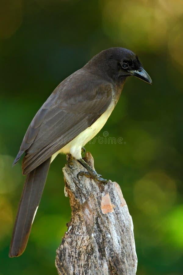 Брайн Джэй, morio Cyanocorax, птица от зеленого леса Коста-Рика, в среду обитания дерева стоковые фотографии rf