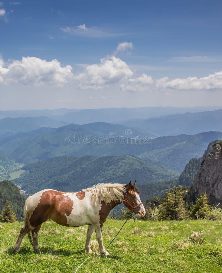 Брайн и белая лошадь вверху горная цепь Ceahlau стоковое фото rf