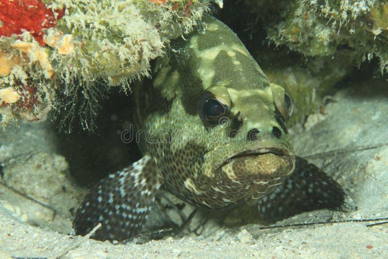 Брайн-мраморизованный grouper стоковое фото rf