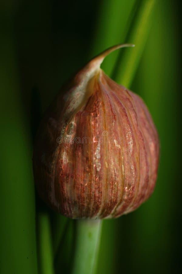 Брайн, неоткрытый бутон цветка чеснока (стрелок лука) на зеленой предпосылке русского сада стоковая фотография