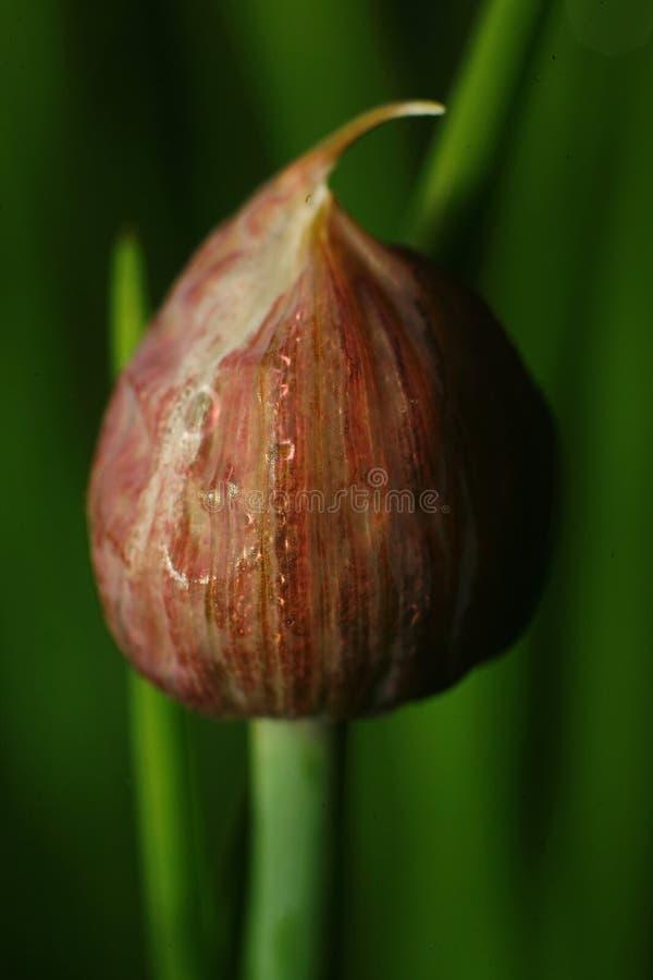 Брайн, неоткрытый бутон цветка чеснока (стрелок лука) на зеленой предпосылке русского сада стоковые изображения