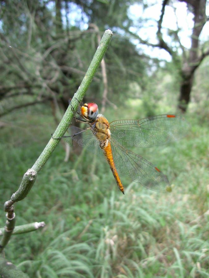 Брайн-рыжеватый dragonfly с красным цветом наблюдает на стержне завода в Свазиленде стоковое фото rf