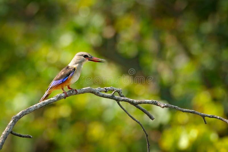 Брайн-с капюшоном kingfisher, Halcyon albiventris, птица в среду обитания природы Kingfisher сидя на ветви, лес в backgrou стоковое фото rf