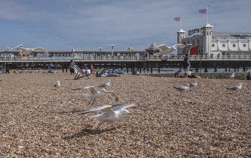 Брайтон, Англия - чайки на пляже/пристани Брайтона стоковые изображения