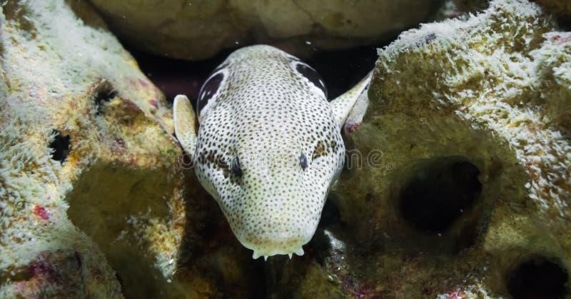 Браун запятнал белого угря мурены с зубами Дракула, крадясь от за некоторых утесов под водой, змей indo Тихого океан стоковое изображение