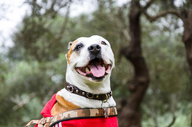 Браун и белое смешивание pitbull, собака лежа вниз и усмехаясь в парке стоковые фото