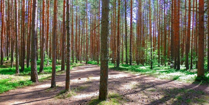 Браун сосна Молодое Cora Взгляд высокорослых старых деревьев в вечнозеленом небе primeval леса голубом на заднем плане стоковая фотография