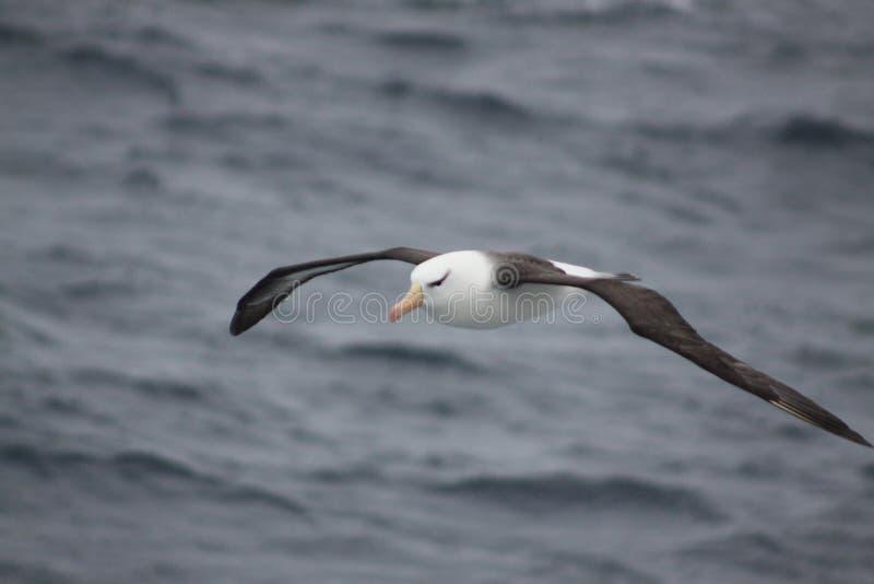 Бродяжничая альбатрос стоковое фото rf