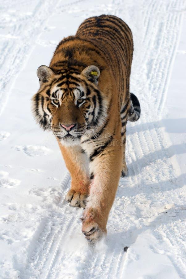 бродя siberian тигр стоковое изображение rf