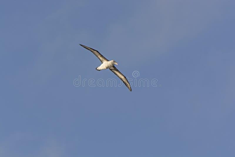 Бродяжничая альбатрос в полете стоковое изображение