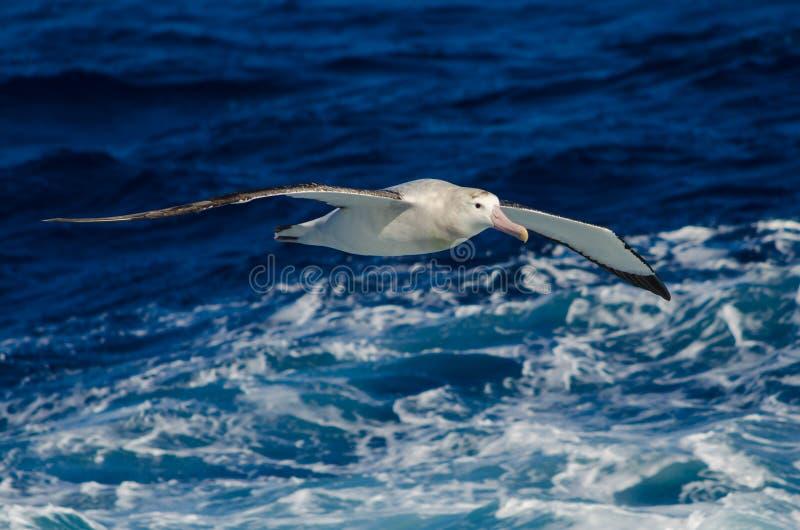 Бродяжничая альбатрос на море стоковые изображения rf