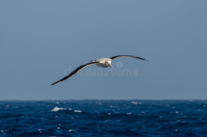Бродяжничая альбатрос на море стоковые изображения