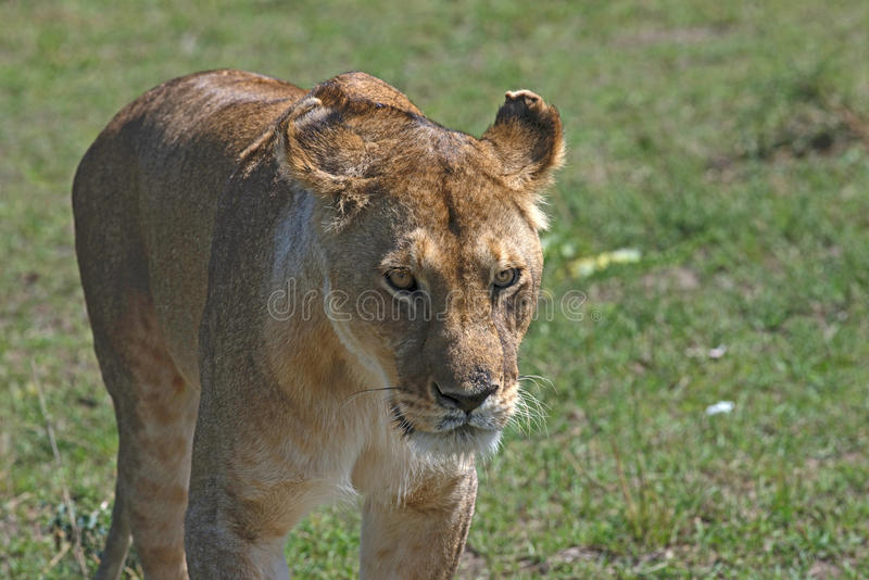Бродя львица стоковое изображение rf