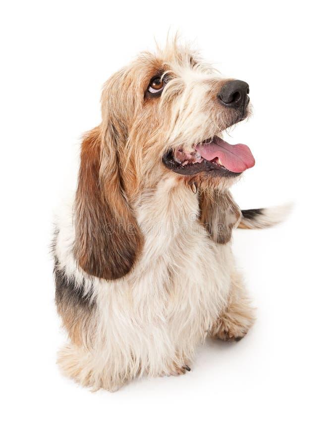 Брюссель Griffon и собака Crossbreed гончей выхода пластов стоковые фотографии rf