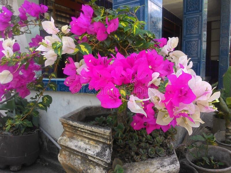 Бугинвилия цветет v2 стоковые фотографии rf