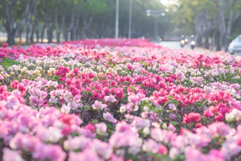 Бугинвилия или бумажный цветок стоковая фотография