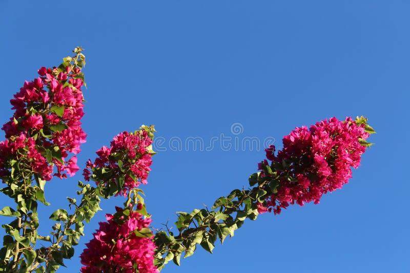 бугинвилия цветка против неба стоковая фотография