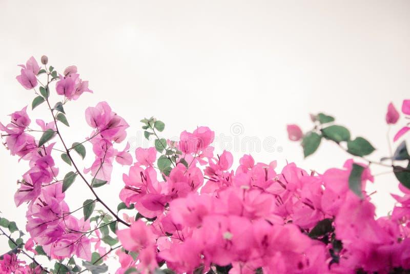 Бугинвилия цветков стоковые фотографии rf