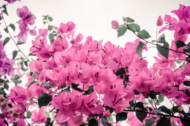 Бугинвилия цветков стоковая фотография