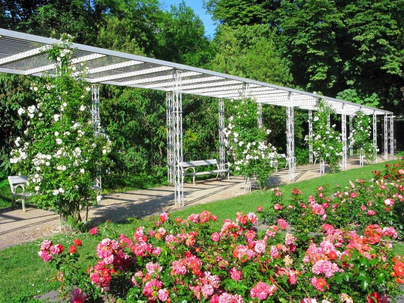Будапешт, остров Маргарета, парк города, зацветать роз, романский стоковые изображения rf