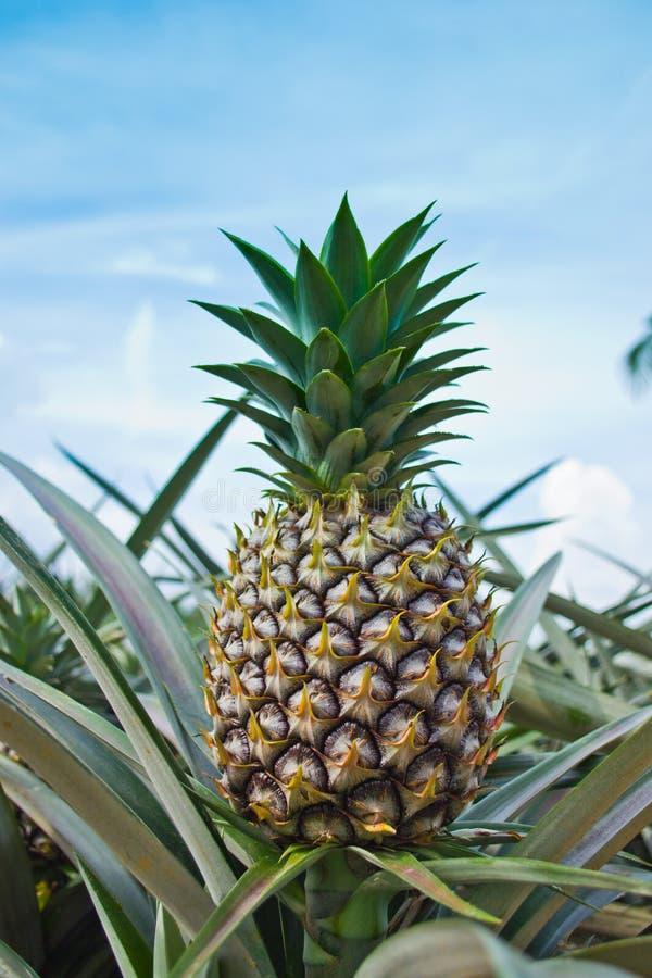 будет фермером ананас стоковые фотографии rf