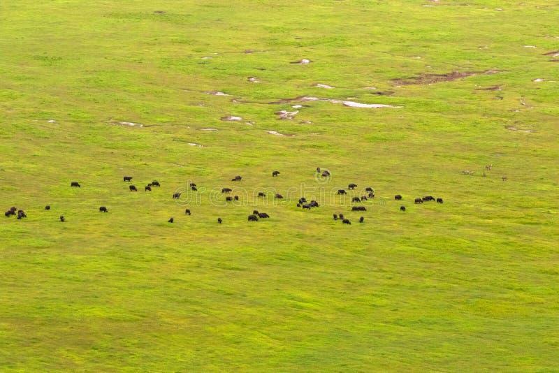 Буйволы, зебры пася на траве, зеленом поле на поле кратера Ngorongoro, Восточной Африки стоковые фото
