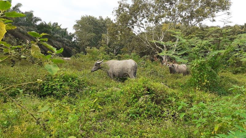 Буйволы пася в поле в Малайзии стоковые фотографии rf