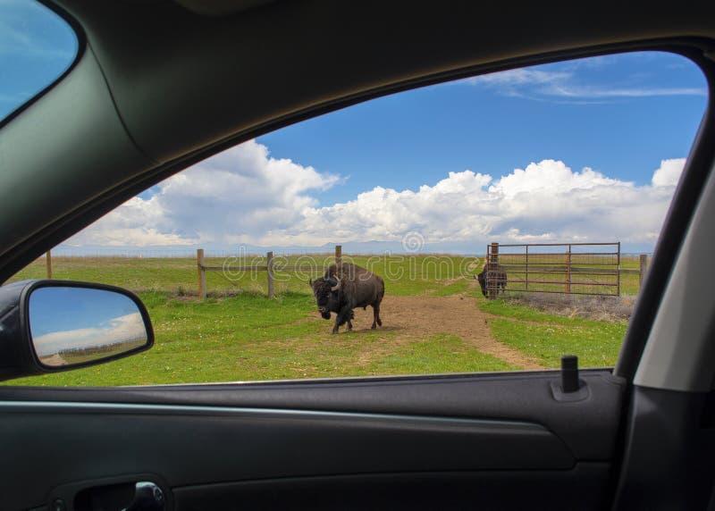 Буйвол американского бизона идет через открытые ворота к автомобилю на прерии стоковая фотография rf