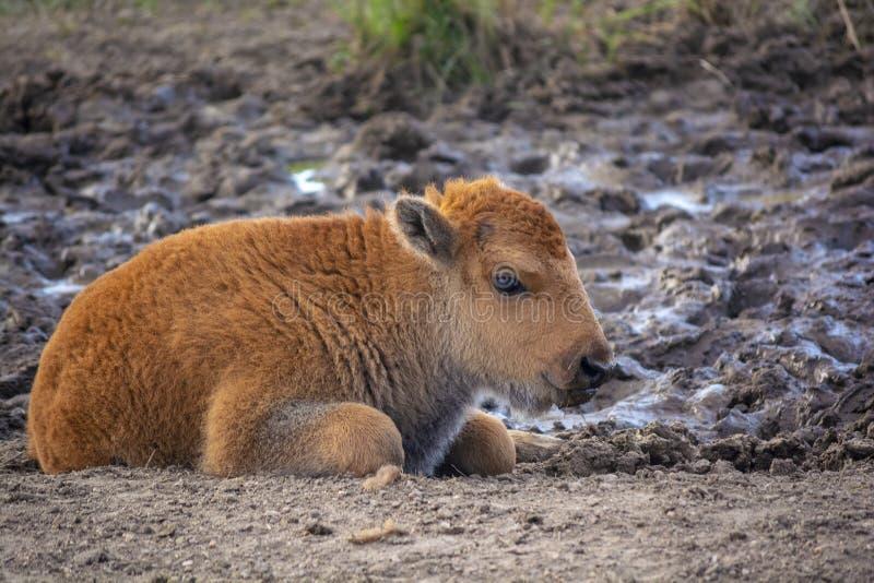 Буйвол американского бизона младенца в течение дня стоковые фото