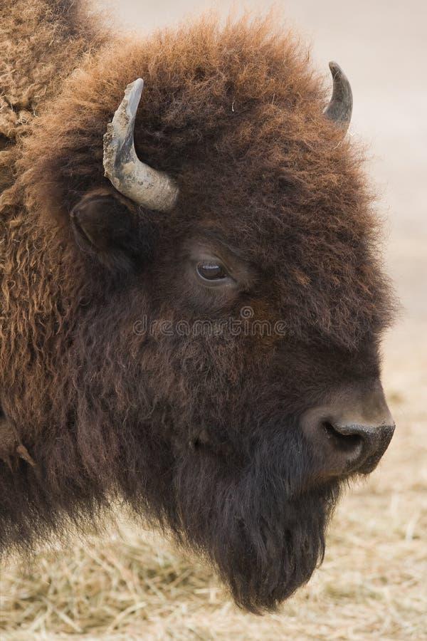 буйвол американского зубробизона стоковая фотография