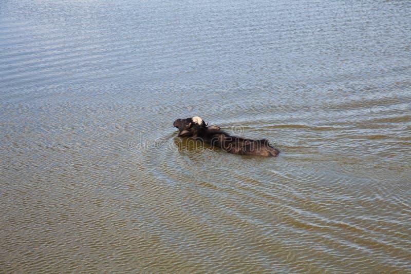 Буйвол в пруде воды стоковые фото