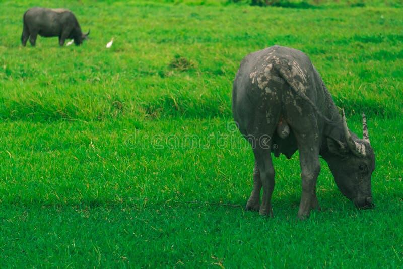 Буйвол ест траву стоковое фото