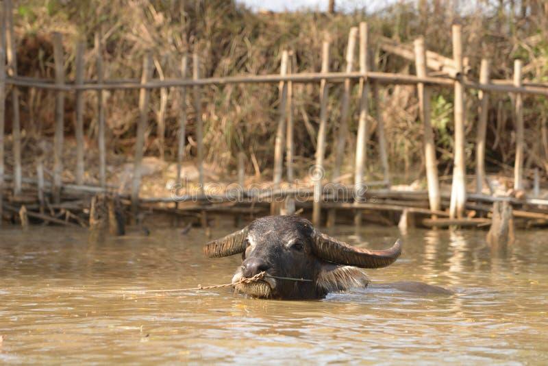 Буйвол озера Мьянм Inle стоковые фото