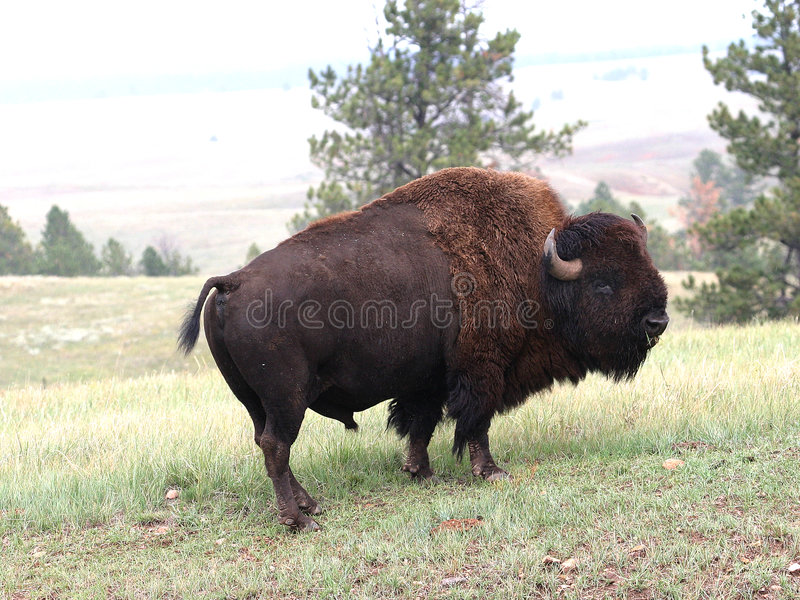 буйвол стоковое изображение