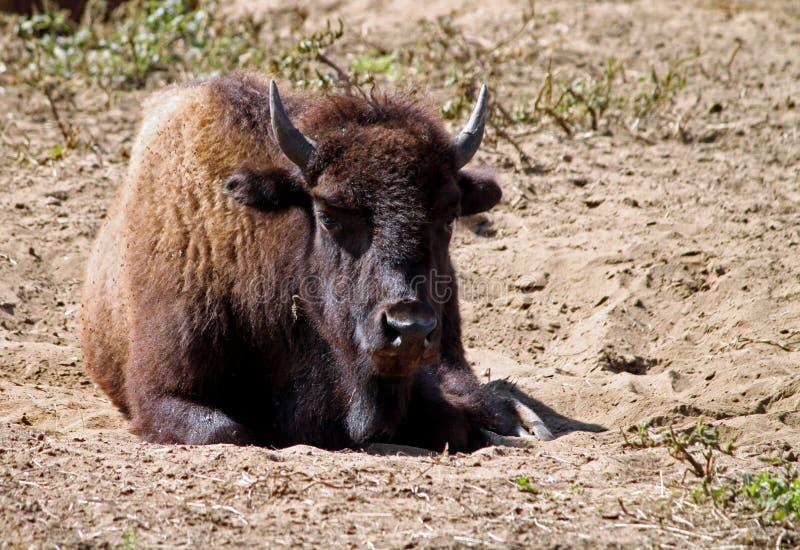 буйвол стоковая фотография rf