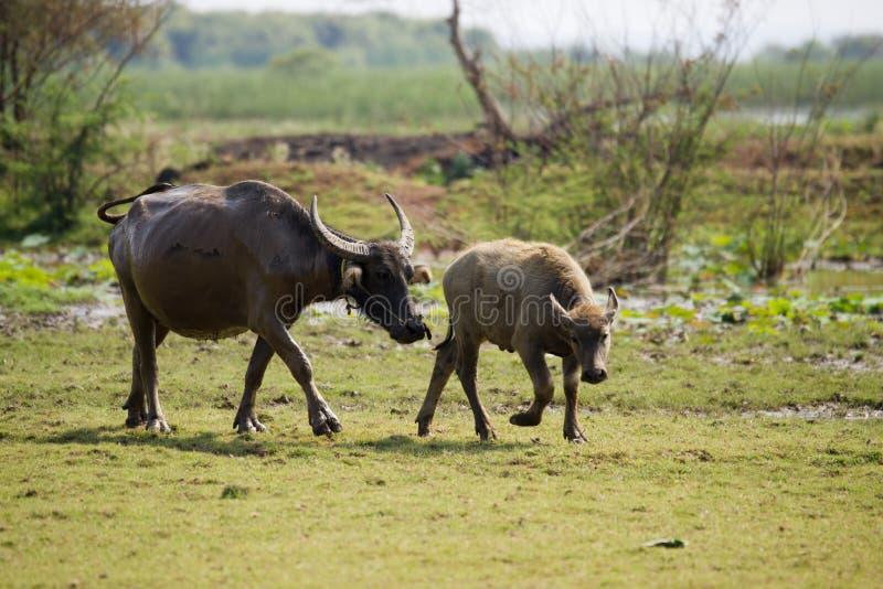 буйвол стоковые изображения rf