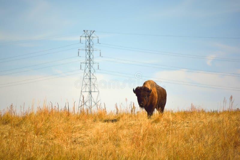 Буйвол американского бизона на городском заповеднике живой природы стоковое изображение rf