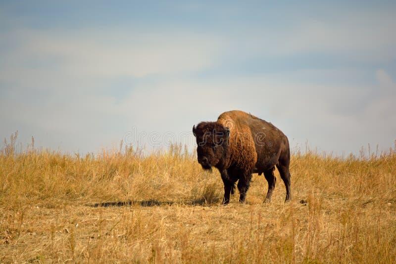 Буйвол американского бизона на городском заповеднике живой природы стоковые фото