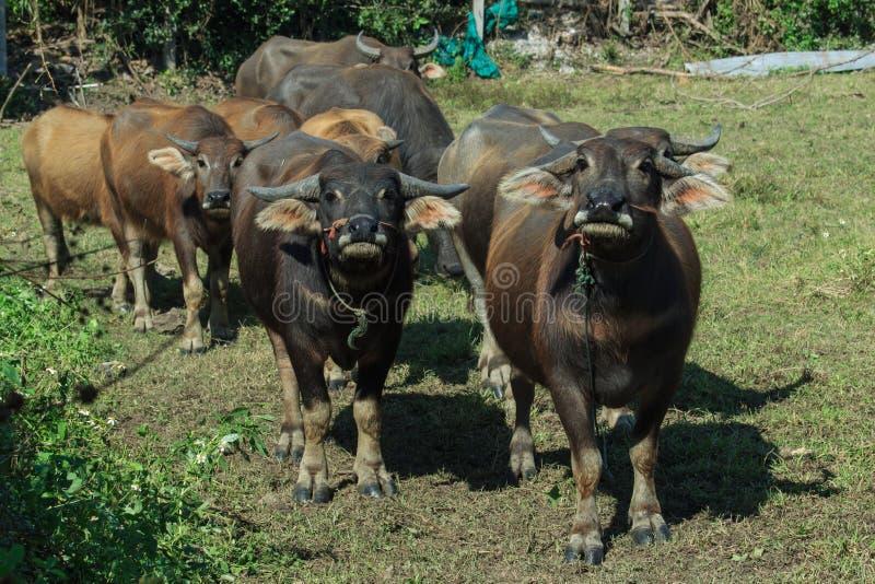 Буйвол, буйвол Таиланд, животное стоковые фото