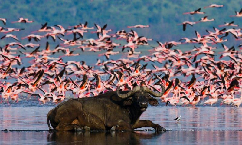 Буйвол лежа в воде на предпосылке больших стад фламинго Кения вышесказанного Национальный парк Nakuru Озеро Bogoria Nationa стоковые фото