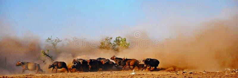 Буйвол накидки & пыль, Зимбабве стоковые фотографии rf