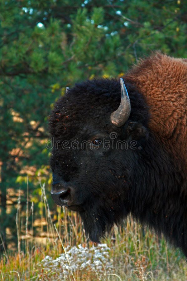 Буйвол Bull бизона в национальном парке пещеры ветра стоковые фотографии rf