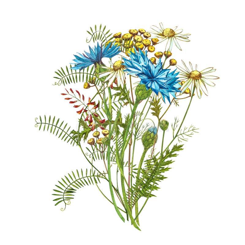 Букетный букет 'Синий цветочный травяной травы' или 'холостяк' с цветочками, изолированными на белом фоне. Набор чертежей стоковое изображение