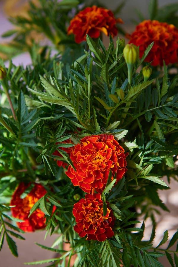 Букет красивых красных ноготков, цветков осени стоковое изображение