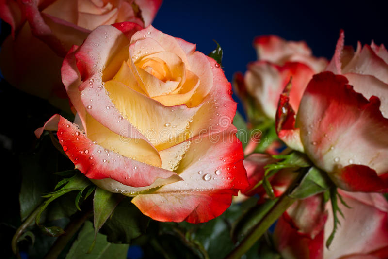 Букет красивых роз стоковые фото