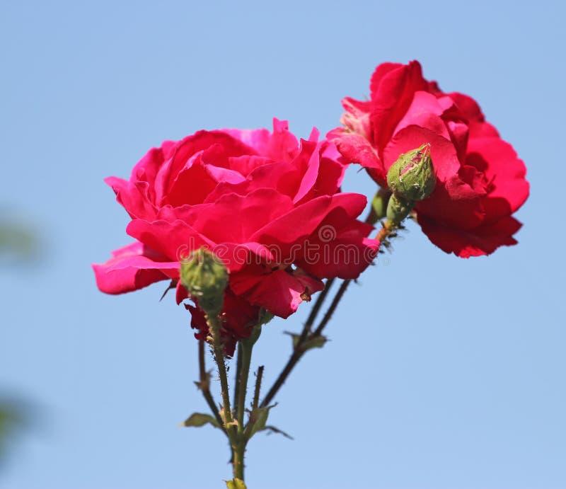 Букет красных роз перед ярким голубым небом стоковые фото