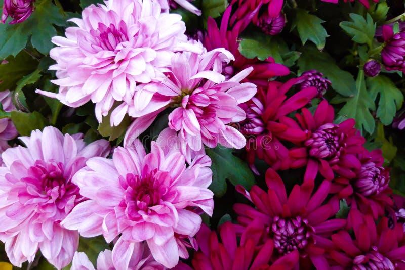 Букет пурпурной и бургундской красивой хризантемы стоковая фотография rf