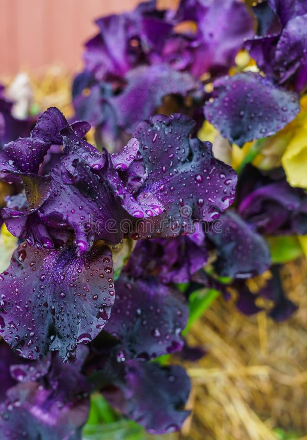 Букет пурпурных радужек с падениями воды после дождя стоковое изображение rf