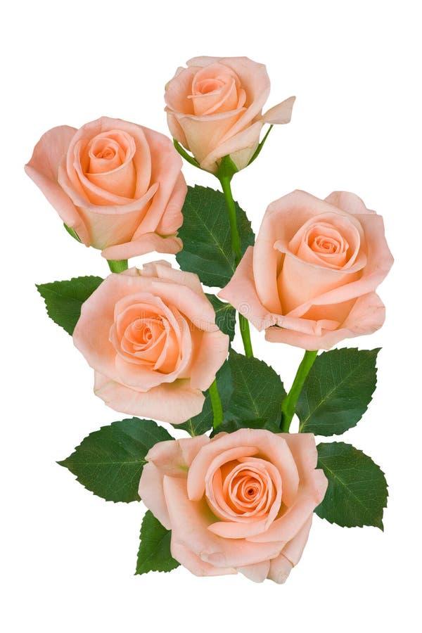 Букет розовых роз на белой предпосылке o стоковое изображение rf